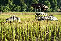 Padi Field of Kampong Skudup, Kuching ,Sarawak, Malaysia