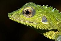 Chamelion Green Crested Lizard of Gunung Garding Sarawak, Malaysia
