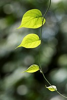 Plant in the nature, borneo
