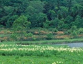 Hachimantai, Onuma bog, Veratrium stamineum, azalea, Kazuno, Akita, Tohoku, Japan