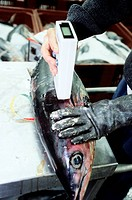 Tuna auction. Auction worker measuring the size and body fat of a randomly selected Atlantic bluefin tuna Thunnus thynnus prior to auction. Photograph...