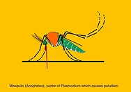 Anopheles mosquito. Computer artwork of an Anopheles sp. mosquito. The females of several species of Anopheles mosquito are responsible for transmitti...