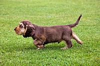 English Cocker Spaniel Canis lupus familiaris pup in garden