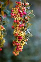 Barberry Berberis sp. berries in Autumn.