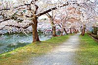 Cherry trees along a river, Hikosaki, Aomori Prefecture, Japan