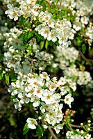 flowering of pear tree