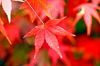 Maple leaves in red, close up