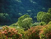 Japanese azalea, Akagi plateau, Fujimi, Gunma, Japan