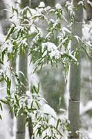 Snow, bamboo, bamboo blade, tree, Kyoto, Kyoto, Kinki, Japan