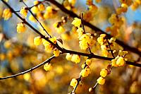 Wintersweet Blossoms