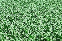 Corn Field, Kanagawa Prefecture, Honshu, Japan