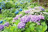 Blue and purple hydrangea bushes