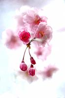 Close_up of cherry blossom buds