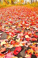 Path Covered with Fallen Red Maple Leaves in Autumn