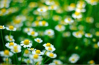 Field camomile