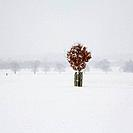 Lone Beech tree in snow