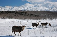Ezosica, Ezo Deer, Animal, Shiretoko Mountains, Furepe, Observatory, Shari, Hokkaido, Japan