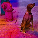 An obedient dog looks up at it's owner waiting for her instruction A fire hydrant is behind him