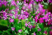 Primrose Blooming