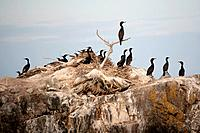 Flock of cormorants on a rock island in Lake of the Woods, Ontario