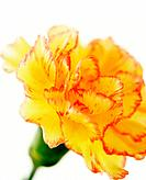 Yellow carnation with red edges