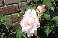 Matilda roses, Hyogo Prefecture, Honshu, Japan