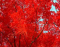 Red autumn leaves on a tree.