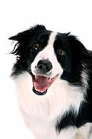 Happy sheepdog