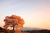 Cherry blossom at Wanizuka at dawn, Yamanashi Prefecture, Honshu, Japan