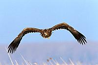 White_tailed Eagle / Sea Eagle / Erne Haliaeetus albicilla flying over reedbed in winter, Germany