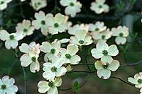 Flowering Dogwood white