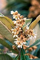 Loquat flower