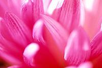 Close_up of Chrysanthemum
