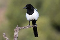 European Magpie, Pica pica, perched on a branch, Valencia, Spain