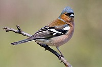 Chaffinch, Fringilla coelebs, male perched on a branch, Sierra Espadan, Castellon, Spain