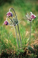 The flowers of Pulsatilla nigricans on Holubyho luky, Male Karpaty, Slovakia