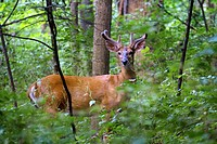 A young male Deer in the wood of Ohio