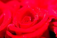 Red rose covered in dew drops