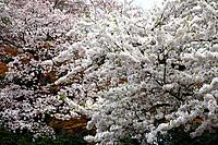 Cherry blossoms, Tokyo Prefecture, Honshu, Japan