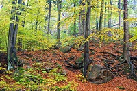 Forest and fallen leaves in autumn, Harz, Germany, Europe