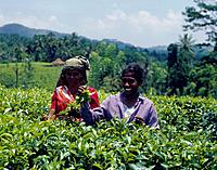 Two women picking the leaves from tea bushes.