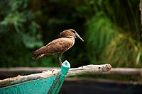 A Hamerkop, Scopus umbretta, standing on a boat, Lake Victoria, Kenya.