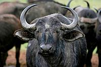 Old Female Buffalo