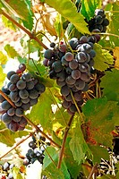 Wine grapes ready to harvest in the vineyards of the l'Herault, France
