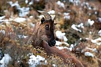Himalayan Thar are a common sight in the Everest region of Nepal