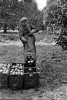 FLORIDA: ORANGE PICKING. /nA man picking orange in Polk County, Florida. Photograph by Arthur Rothstein, 1937.