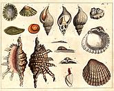 Shells. Illustration from ´Elements of Conchology, or, An Introduction to the Knowledge of Shells´ by Emanuel Mendes Da Costa 1726.