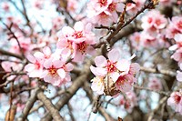 Almond tree pink flowers.