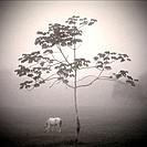 Horse in the mist by a tree in Belize