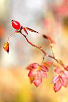 Single rose hip in autumn on a dog rose or wild brier.